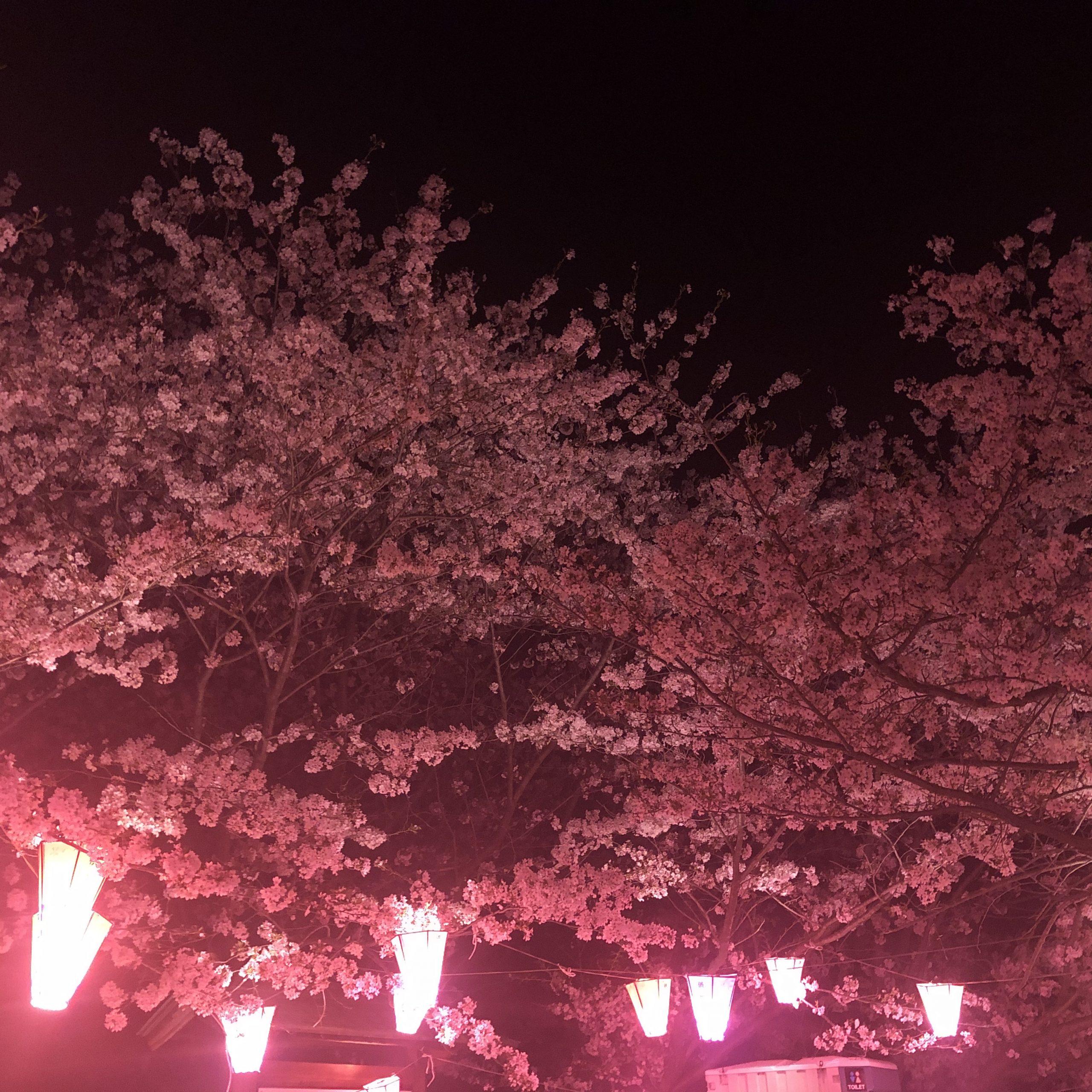 夜桜とはごろもショーツ桜型紙